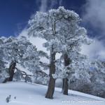 Pini loricati in veste invernale