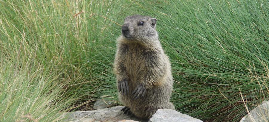 Marmotta in Valfurva