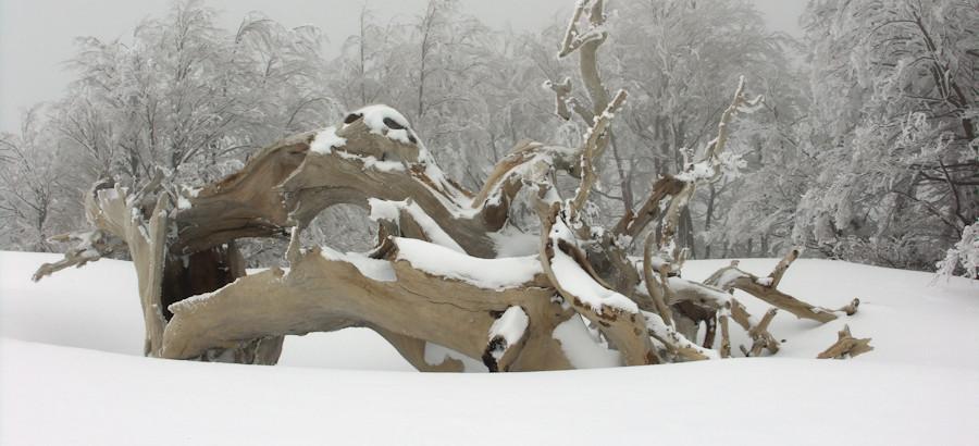 Il pino della Grande Porta di Pollino