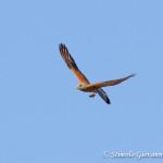 Falco Naumanni con preda