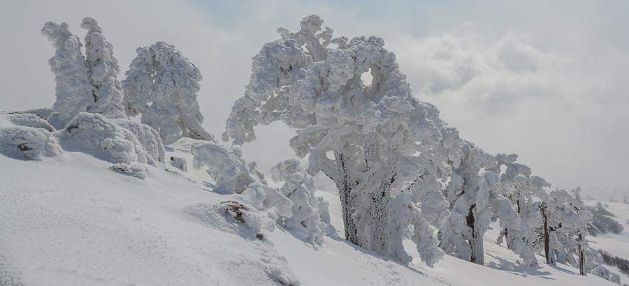 Pini Loricati di Serra di Crispo ricoperti dalla calabrosa