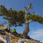 Pausa sotto un bel pino Loricato