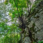 Il faggio nella roccia