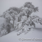Pini Loricati di Serra di Crispo nella Nebbia