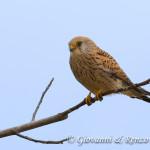 Falco grillaio (Naumanni) femmina