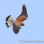 Falco grillaio (Naumanni) maschio