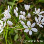 Allium subhirsutum (Aglio pelosetto)