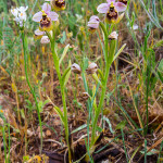 Ophrys tenthredinifera (Orchidea)