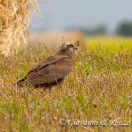 Falco di Palude su campo mietuto