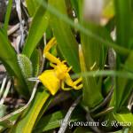 Ragno camaleonte (Thomisus onustus)