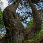 Loricati dai tronchi sinuosi
