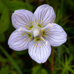 Parnassia palustris