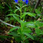 Erba perla azzurra (Buglossoides purpureocaerulea (L.) I.M.Johnst.)