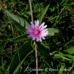 Radicchiella rosea (Crepis rubra L.)