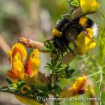 Bombo (Bombus) su Citiso spinoso (Cytisus spinescens)