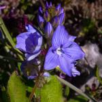 Veronica austriaca subsp. teucrium (L.) D.A.Webb, 1972