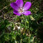 Geranio cenerino (Geranium austroapenninum Aedo)