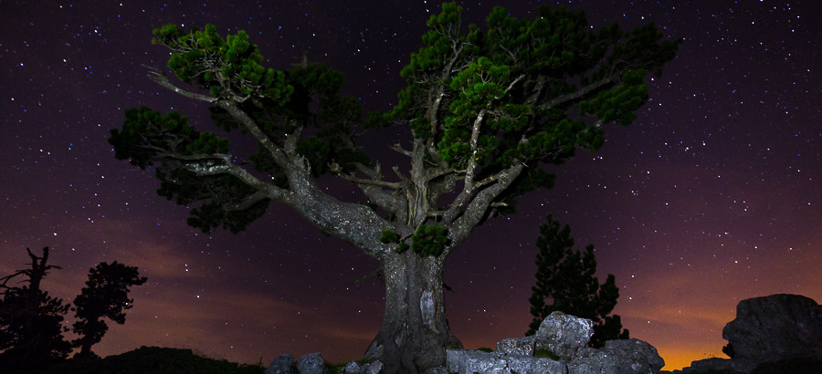 Pino loricato sotto un cielo stellato