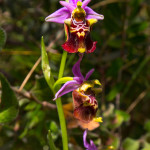 Ophrys holosericea apulica (O. Danesh & E. Danesh) Buttler, 1986
