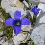 Genzianella Sfrangiata (Gentianopsis ciliata (L.) Ma)