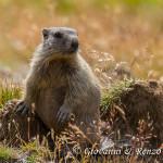 Giovane marmotta