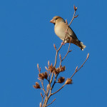Frosone (Coccothraustes coccothraustes)