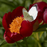 Cavolaia maggiore maschio su Peonia pellegrina