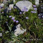 Vedovella appenninica (Globularia meridionalis)