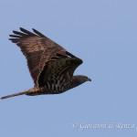 Falco pecchiaiolo (Pernis apivorus)