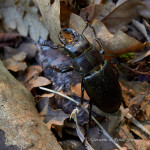 Cervo volante minore (Lucanus tetraodon) maschio