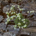 Sassifraga delle Dolomiti (Saxifraga squarrosa Sieber)