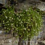 Peverina alpina (Cerastium alpinum)