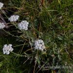 Millefoglio di Clavena (Achillea clavennae)