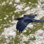 Corvo imperiale (Corvus corax)