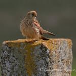 Grillaio (Falco naumanni) femmina