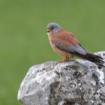 Grillaio (Falco naumanni) maschio