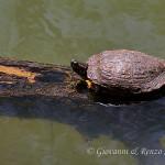 Tartaruga palustre americana (Trachemys scripta)