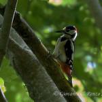 Picchio rosso maggiore (Dendrocopos major) maschio