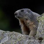 Marmotta delle Alpi (Marmota marmota)