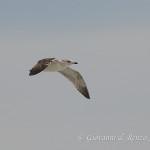 Gabbiano reale (Larus michahellis) al secondo inverno