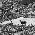Stambecchi (Capra ibex)