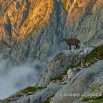 Stambecco (Capra ibex)