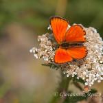 Farfalla mantello d'oro (Heodes virgaureae)