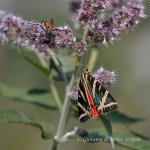 Falena dell'edera (Euplagia quadripunctaria)