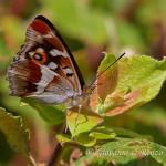 Farfalla Iride (Apatura iris)