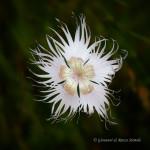 Garofano di Montpellier (Dianthus hyssopifolius)