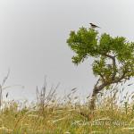 Monachella (Oenanthe hispanica)