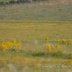Il falco di palude e le ferule