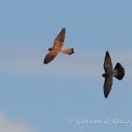 Mobbing di Falco Cuculo su Grillaio
