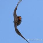 Falco cuculo (Falco vespertinus)